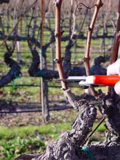 Pruning vines at Sonoma Cutrer